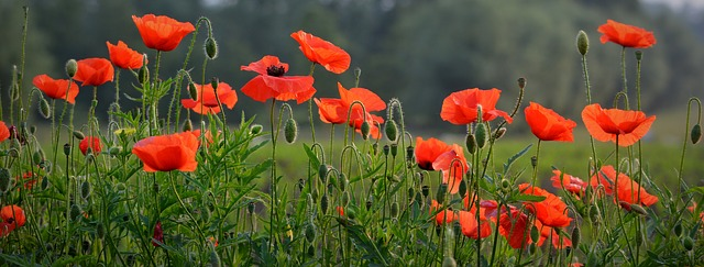 Poppies in Flanders